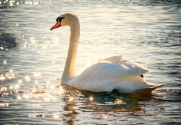 Swan on Lake (rv)